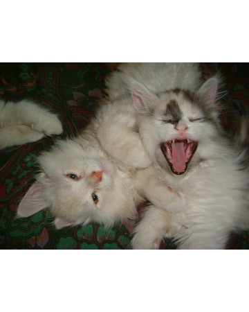 Giant Yawn for a Tiny Kitten