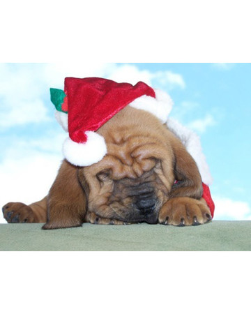 Wrinkles the Bloodhound Waiting for Santa