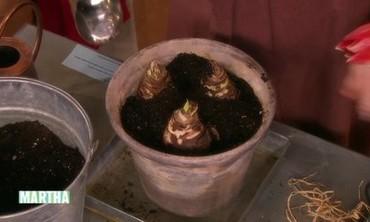 Amaryllis Planting