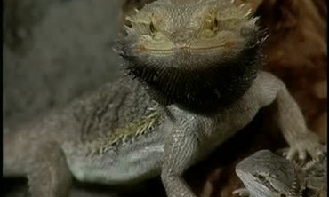 Pets: Bearded Dragons