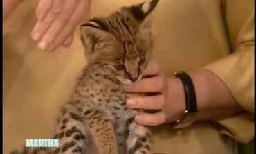 Exotic Serval Kittens