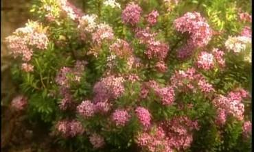 Growing Daphne Plants