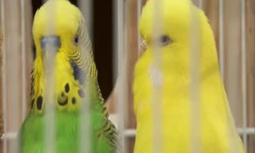 How to Mate Parakeets