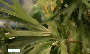 Staghorn Ferns, 1