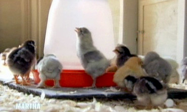 Chicks and Chicken Coops