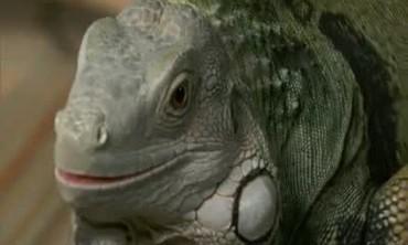 How To Care For Iguanas