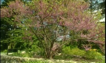 About the Eastern Redbud