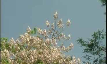 About the Paulownia Tree