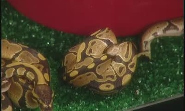 Burmese and Ball Pythons