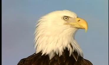 Eagle Endangered Species
