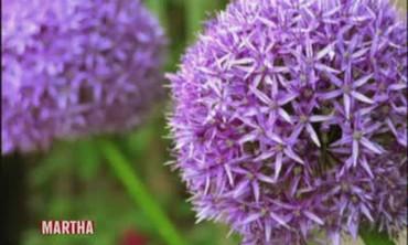 How to Plant Allium Bulbs