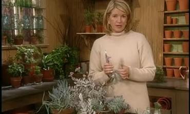 Propagating Silver Plants