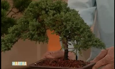 Bonsai Trees Care and Tips