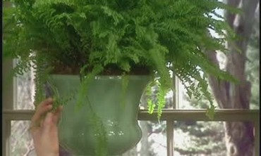 Growing Boston Ferns at Home
