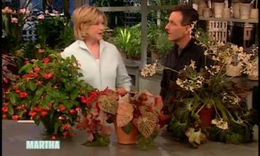 How to Grow Begonias Indoors