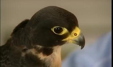 Peregrine Falcon Conservation