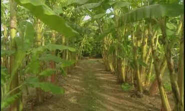 Growing Banana Trees in Florida