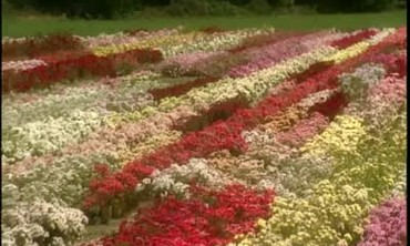 Easy Grow Roses at Poulsen Roses