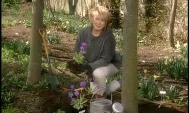 Planting Primroses in the Spring