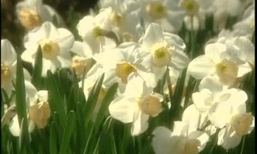 The Daffodils of Nantucket Island