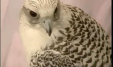 Peregrine Falcon Conservation, Part 2