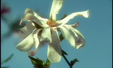 Brooklyn Botanic Garden Magnolia Tour