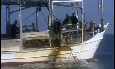 Collecting Oysters From An Oyster Boat