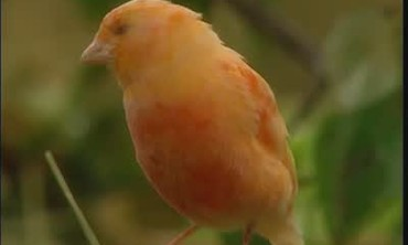 Information and Helpful Tips on Canaries