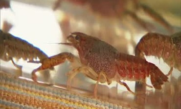 How to: Maintain Your Pet Crayfish Properly
