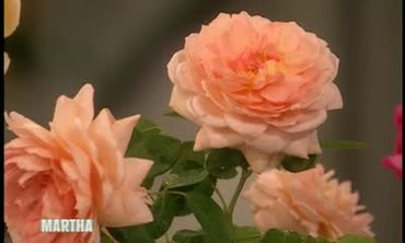 How to Care For Roses with Michael Marriott