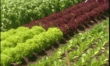 Growing Lettuces and Radicchios In Your Garden