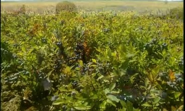 Harvesting Maine Blueberries with Blueberry Rakes