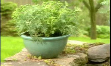 How to Plant Scented Geraniums in Ceramic Planters