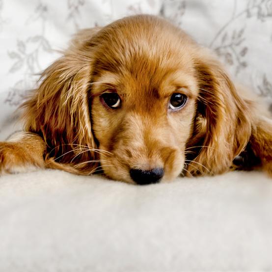 Cute Cocker Spaniel Puppy Eyes
