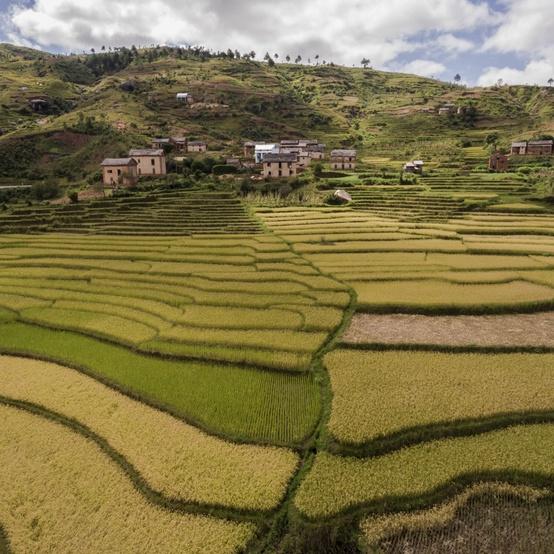 hills rice crops