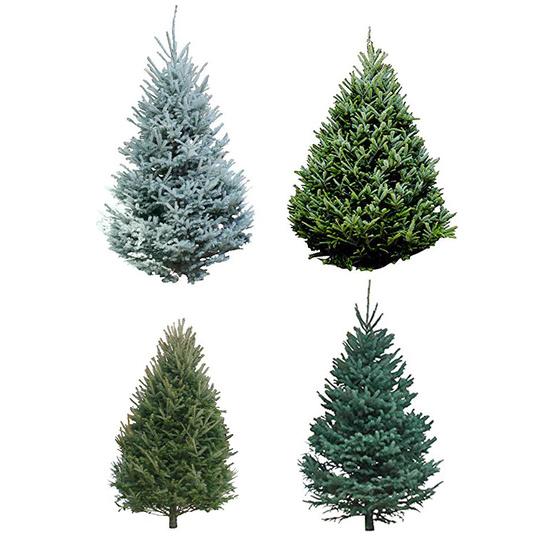 evergreen tree types
