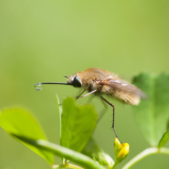 Bee Fly Species Perching on a Flower