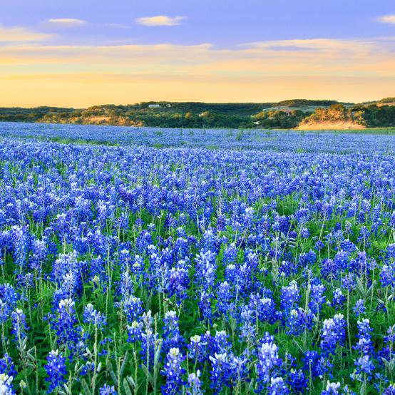 blue bonnets in a field