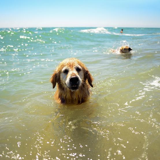 dog swimming getty