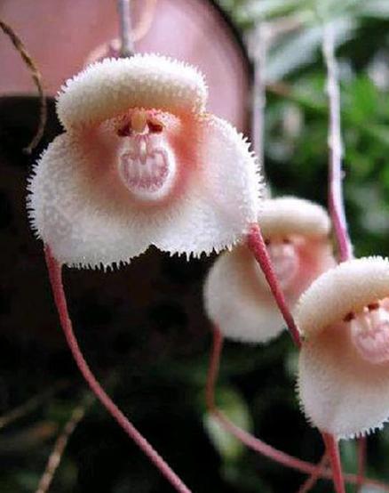 monkey face orchids
