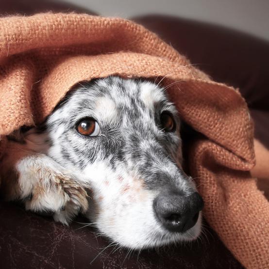 Scared Puppy Hiding Under Blanket