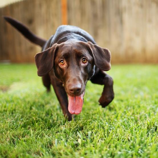 dog in a fenced yard