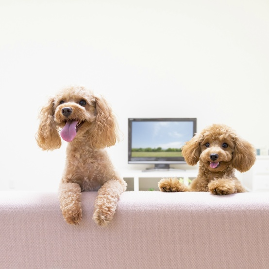 toy poodles watching television