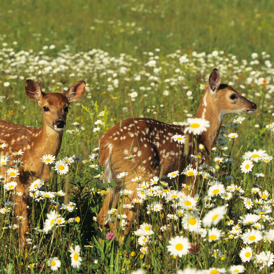 fawns in flower field
