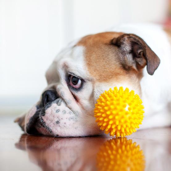 sad bulldog laying down by yellow toy