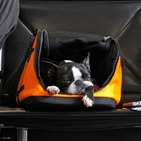 dog pet carrier airport travel