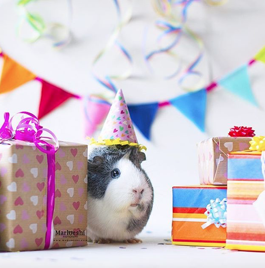 Mieps the guinea pig enjoys her birthday party