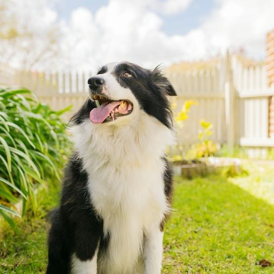 border collie dog sitting in the backyard