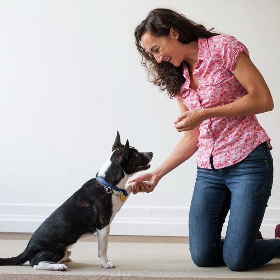 boston terrier dog training woman rug