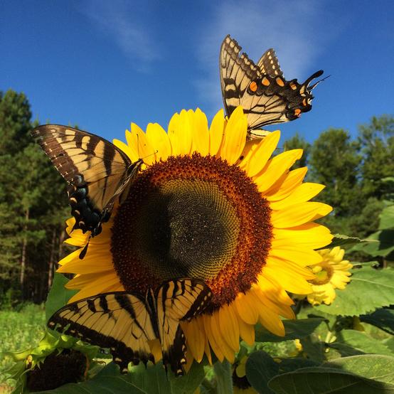butterflies on a sunflower